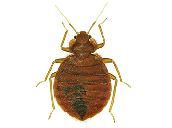 Pest Now Bed Bugs