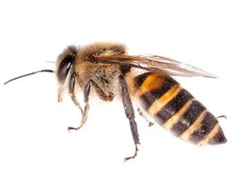 Pest Now Bees