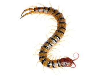 Pest Now Centipedes