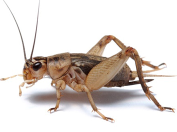 Pest Now Crickets