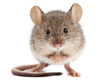 Pest Now remove mice from your house